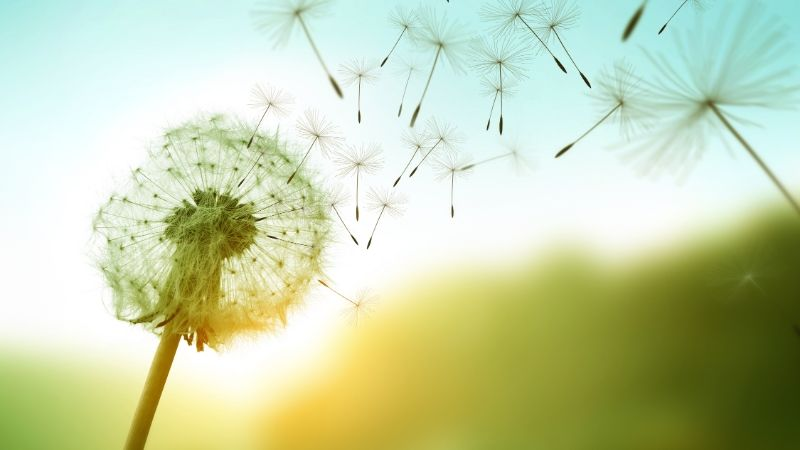 dandelion seeds being blown away by the wind